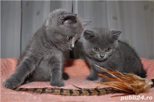 Pui pisica british shorthair - imagine 2