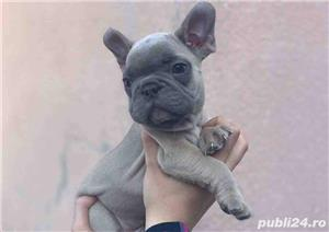 Pui bulldog/buldog francez blue fawn - imagine 1