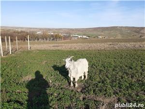 Vand capră  - imagine 2