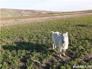 Vand capră  - imagine 1