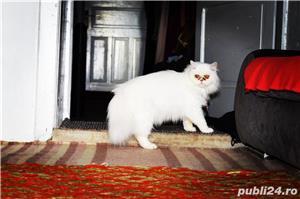 Persană rasa pura alba  - imagine 4