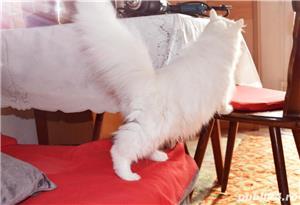 Persană rasa pura alba  - imagine 5