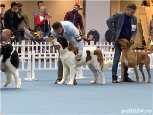 Femela Saint Bernard - imagine 4