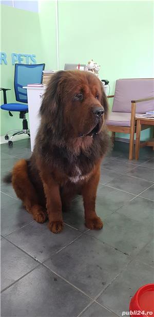 Tuns caini Timisoara salon canin - imagine 3