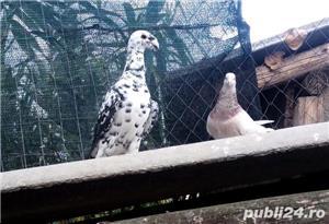 Porumbei voiajori germani de frumusete - imagine 4