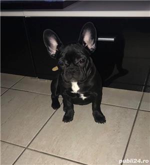 Bulldog francez  - imagine 3