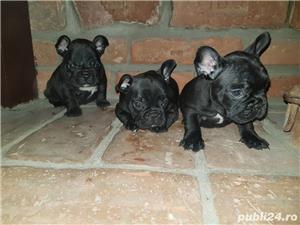 Bulldog francez  - imagine 5