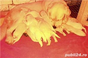 Pui GOLDEN RETRIEVER Rasa Pura genetic 100%,SUPERBI, Cadoul ideal de CRACIUN,retriver ! - imagine 4