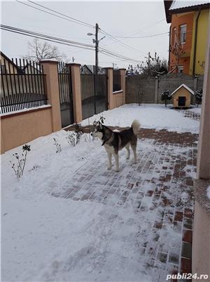 Ofer mascul husky siberian pentru monta - imagine 4