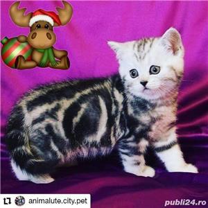 Vand pisici british shorthair bucuresti iasi constanta brasov  OFERTA!! - imagine 3