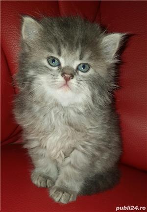 vand pui pisica norvegiana de padure de calitate crescuti in casa  - imagine 3