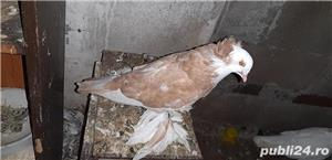 Vand  porumbei de frumusete mai multe rase - imagine 4