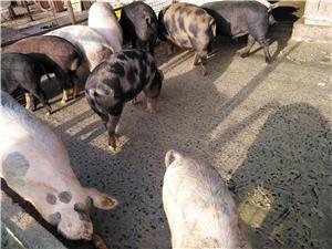 Vând porci - imagine 4