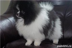 pomeranian mini alb-negru - imagine 2