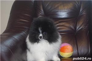 pomeranian mini alb-negru - imagine 1