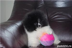 pomeranian mini alb-negru - imagine 3
