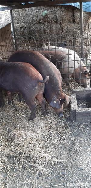 Porci rasa si metisi - imagine 10