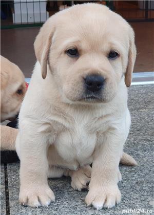 Catei Labrador Retriever-par scurt- sanatosi, vaccinati, microcipati, rasa pura- transport la Brasov - imagine 1