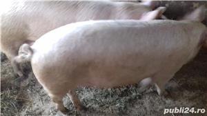 Vând porci 10 lei kg ofer spațiu pentru sacrificat - imagine 4