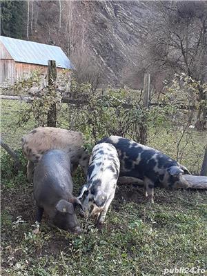 Porci de casa - imagine 4