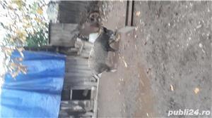 Porc mare de vînzare  - imagine 5