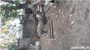 Porc mare de vînzare  - imagine 6