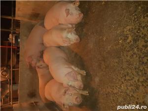 Vand porci de calitate - imagine 1