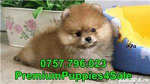 Pomeranian calitate premium- livrare la bucuresti-  - imagine 2