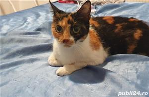Pisica pentru adopție  - imagine 3