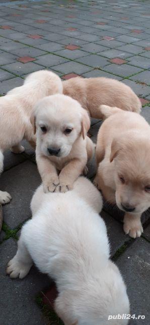 Labrador retriever - imagine 1