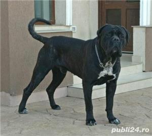 Open for stud monta cane corso Adonis Maximus Delirum - imagine 4