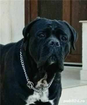 Open for stud monta cane corso Adonis Maximus Delirum - imagine 5