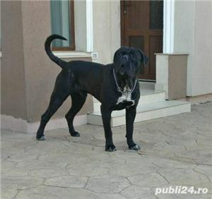 Open for stud monta cane corso Adonis Maximus Delirum - imagine 3