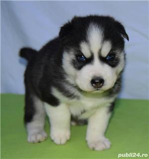 Cățeluși Husky pedigree A - imagine 2