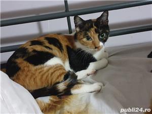 Pisica pentru adopție  - imagine 1