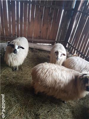 Vand 17 oi tinere, gestante, rasa țurcan, si 12 capre tinere, dintre care 7 gestante - imagine 1