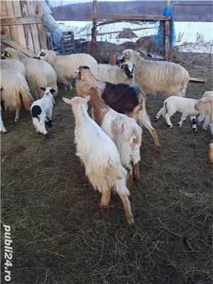 Vand 17 oi tinere, gestante, rasa țurcan, si 12 capre tinere, dintre care 7 gestante - imagine 5