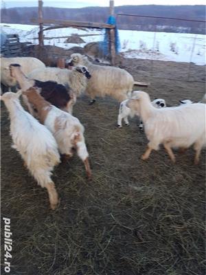 Vand 17 oi tinere, gestante, rasa țurcan, si 12 capre tinere, dintre care 7 gestante - imagine 2