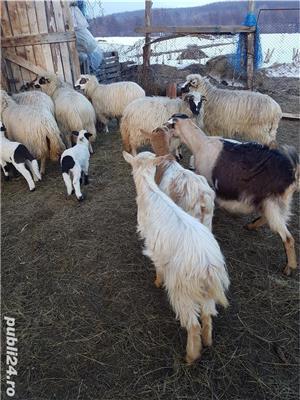 Vand 17 oi tinere, gestante, rasa țurcan, si 12 capre tinere, dintre care 7 gestante - imagine 4