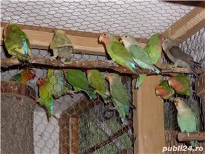 vand papagalii - imagine 1