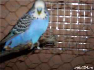 vand papagalii - imagine 2