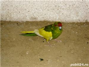 vand papagalii - imagine 5