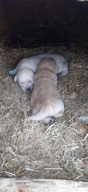 Pui labrador crem fetițe  - imagine 1