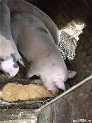 Porci de vânzare - imagine 4