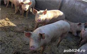 Vand porcii cu o greutate 120-170 kg - imagine 5