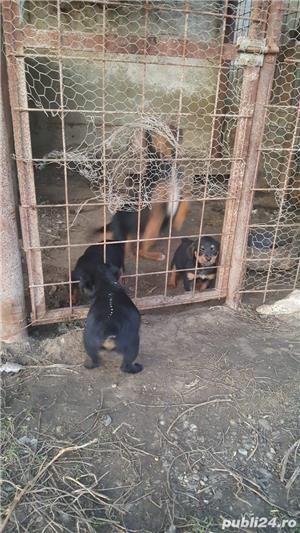 Vand catei Jagd Terrier!!  - imagine 1