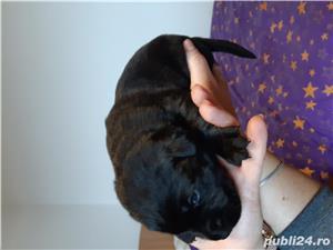 Labrador  - imagine 2