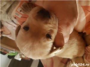 Labrador  - imagine 5