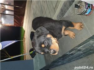 Vand femela rottweiler 8 saptamani cu pedigree  - imagine 2