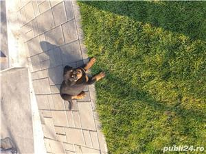 Vand femela rottweiler 8 saptamani cu pedigree  - imagine 5